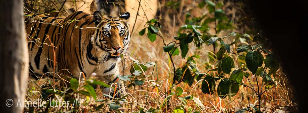 Tigersafari i Bandhavgarh nationalpark7