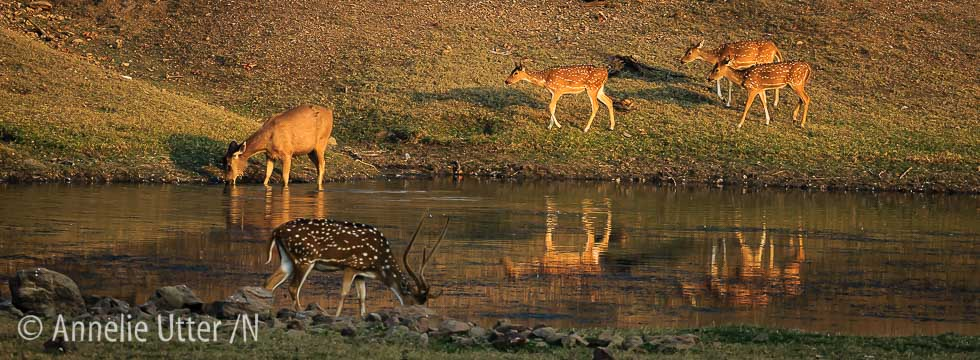 Asia, Asien, Axis axis, Axishjort, Cervus unicolor, Deer, Hjort, India, Indien, Lodge i Satpura, Mammal, Reni Pani, Sambar deer, Sambarhjort, Satpura, Spotted Deer, Tigersafari