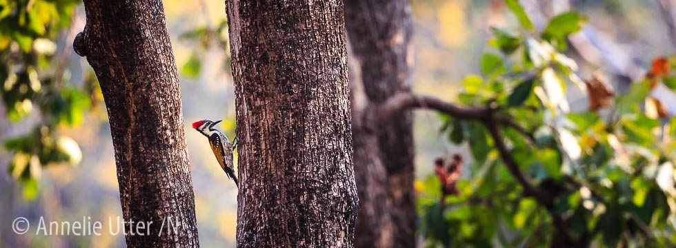 Asia, Asien, Bird, India, Indien, Lodge i Satpura, Oidentifierad, Reni Pani, Satpura, Tigersafari, Woodpecker