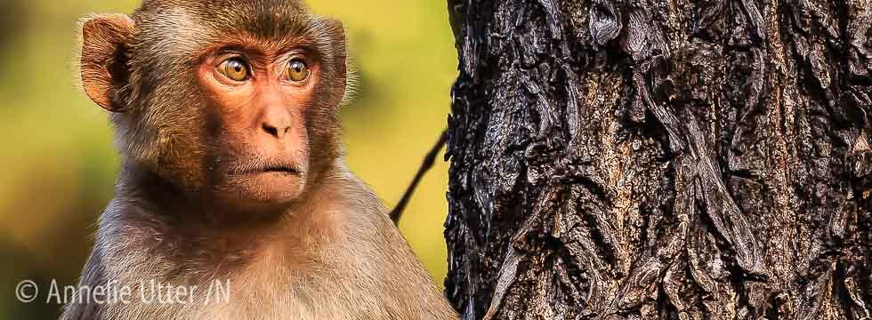 Macaca, Macaca mulatta, Macaque, Makaker, Mammal, Markatter, Primates, Reni Pani, Rhesus macaque, Rhesusapa, Satpura, Tigersafari