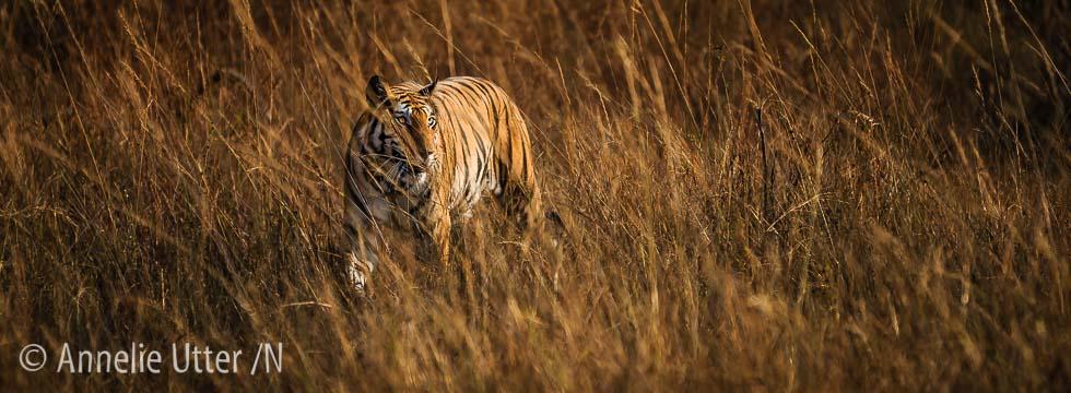 Panthera tigris tigris, Tiger, Tigersafari