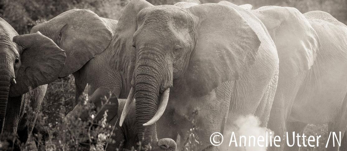 Ugandaresan elefanter
