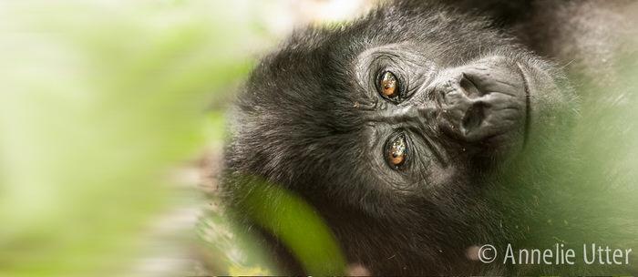 Uganda gorilla resa