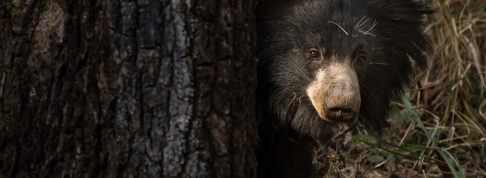 läppbjörn India, Indien, Läppbjörn, Melursus ursinus, Satpura, Sloth bear