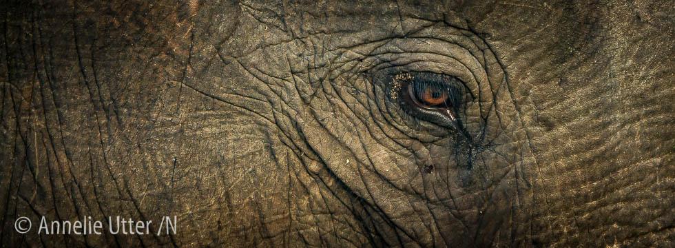 elefant närbild sri lanka