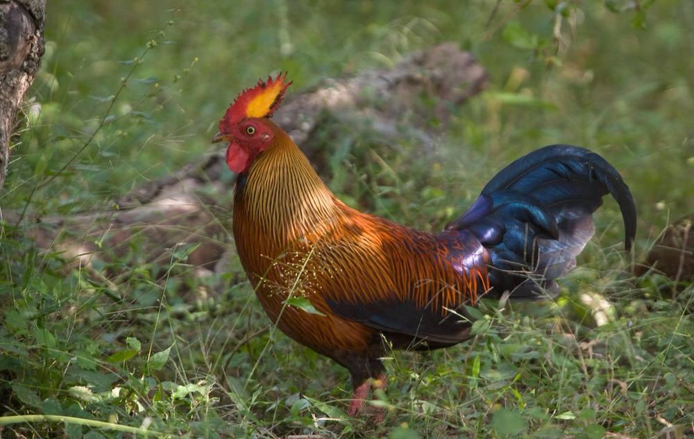 Sri lanka Jungelfowl