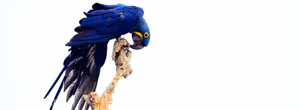 Hyasinth Ara Hyacinth macaw