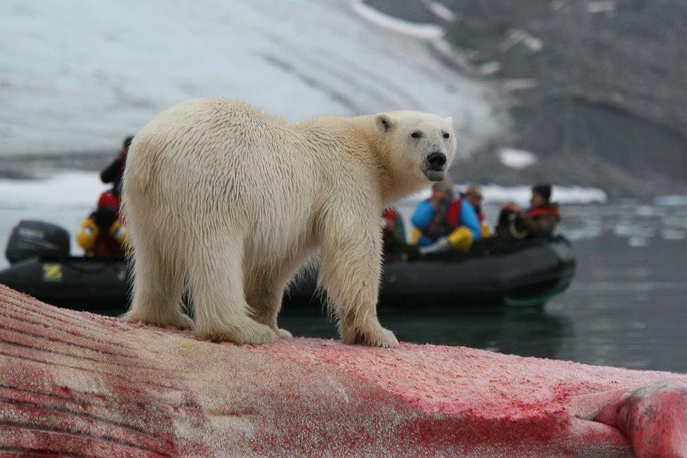 svalbard-isbjörn-safari14