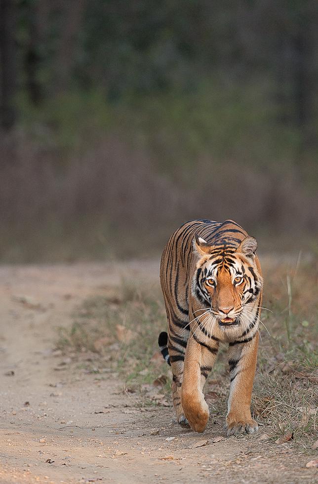 tigersafari-indien32