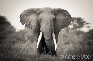 Uganda-elefant-safari