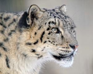 vandringsresa-snöleopard01