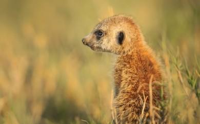 Surikat fotograferad I Kalahariöknen