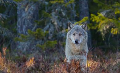 fotoresa till björnar och vargar