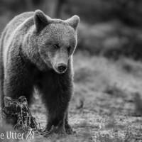 fotografera varg och björn
