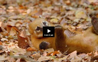 Bild på en näsbjörn från BBC-dokumentären på SVT-play