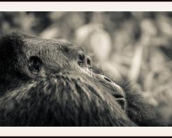 Fototavla med ram Bergsgorilla-Uganda