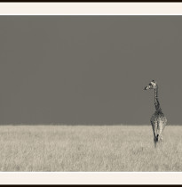 Fototavla Masaigiraff Kenya