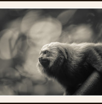 Fototavla lejontamarin-Brasilien med ram
