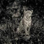 Fototavla jaguar