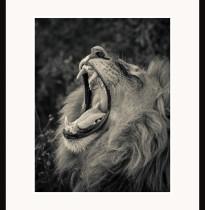 Fototavla lejon Botswana