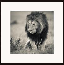 Fototavla lejon