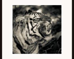 Tavla Bengalisk tiger Indien