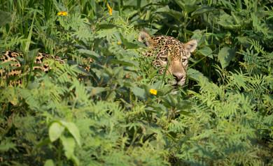 Fotoresa jaguar Piquiri floden
