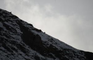 snöleoparder Himalaya