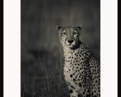 Fototavla Gepard Kenya