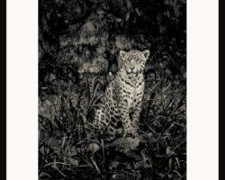 Fototavla Jaguar Brasilien