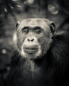 Fototavla Schimpans Uganda