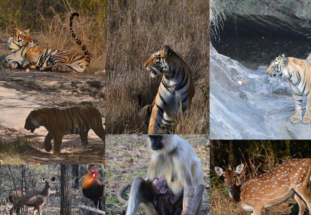 Dehli resedagbok snöleopard och tigersafari Bandavgarh djur