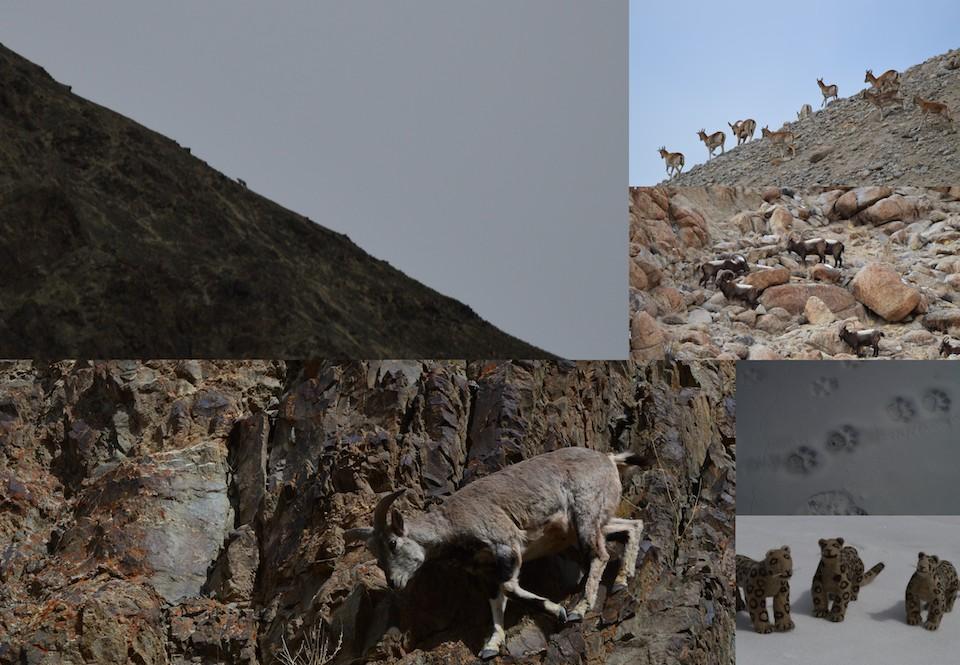 ladakh - djur