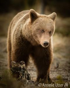 björngömsle