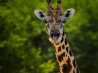 Giraff Safari i Botswana
