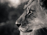 lejon fotograferad på Safari i Botswana