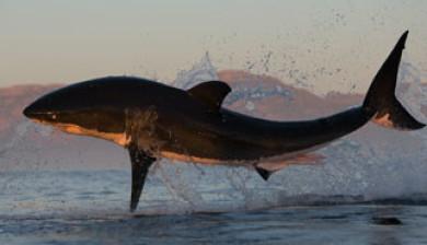hajsafari sydafrika