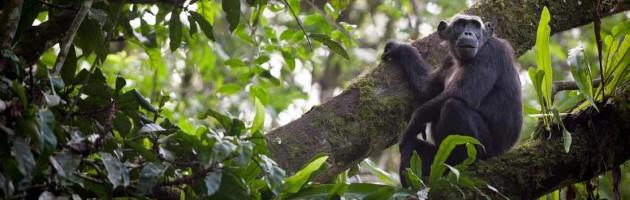 Uganda schimpans resa