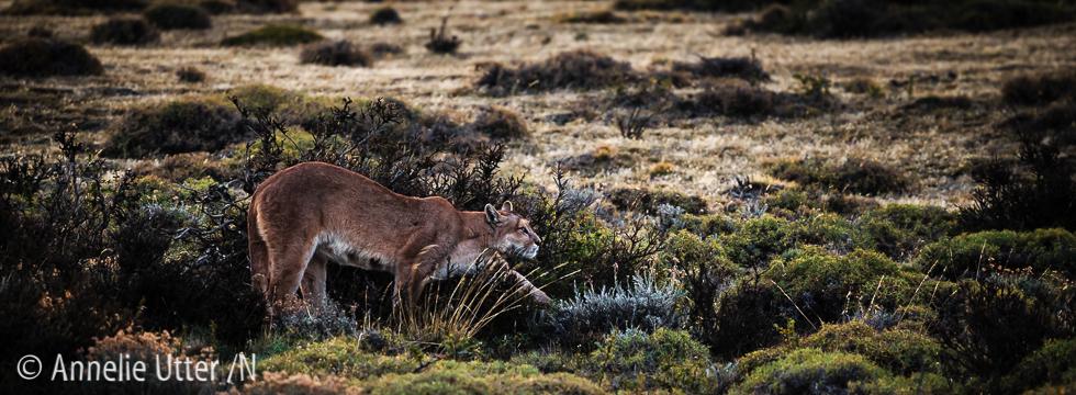Cougar, Patagonia