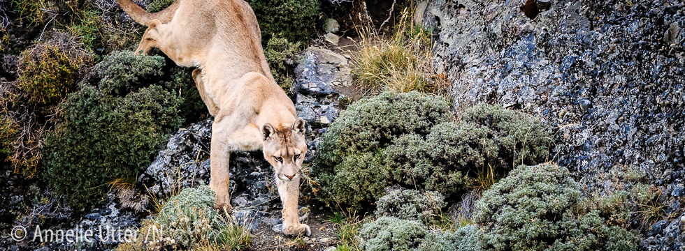 chilecatamount, Chile, Chiles pumor, Cougar, Patagonia, Puma, South America20160318_chile_puma_1DX_8983