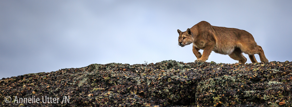 chilecatamount, Chile, Chiles pumor, Cougar, Patagonia, Puma, South America20160319_chile_puma_1DX_9594