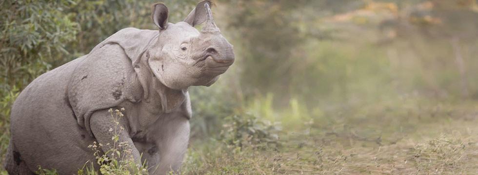 pansarnoshörning-fotoresa-Kaziranga National Park