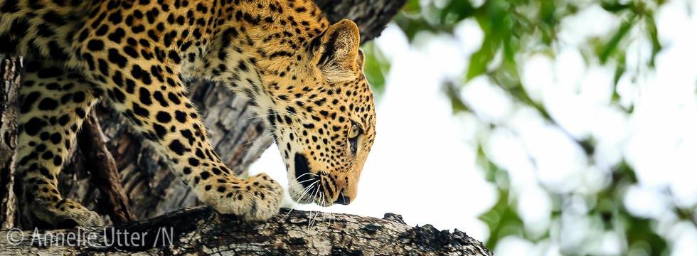 fotosafari botswana Okavango Delta Leopard