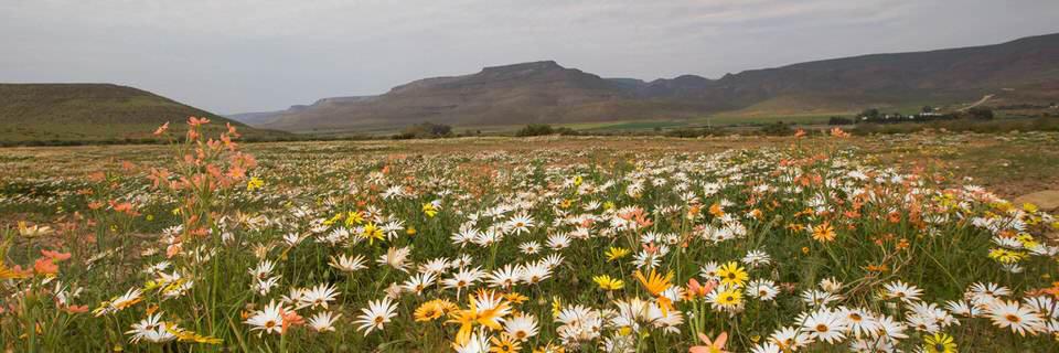Fotografera blommor i Sydafrika Namaqualand