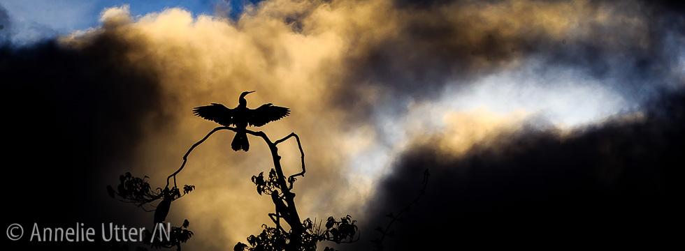 Amerikansk ormhalsfågel i Pantanal Anhinga anhinga