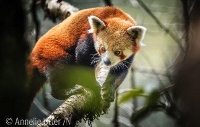 Röd Panda Kattbjorn