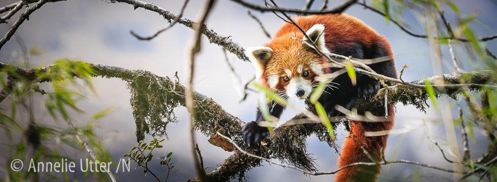 Bild på vild röd panda kattbjörn
