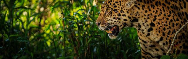 Jaguar - Det tredje största kattdjuret