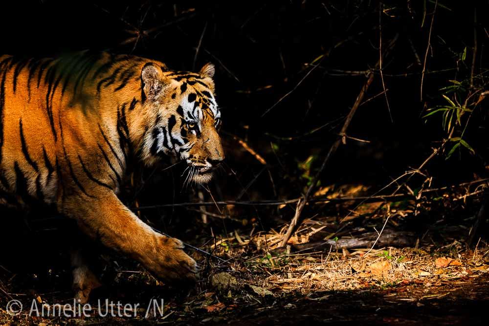 Bengalisk tiger i Indien