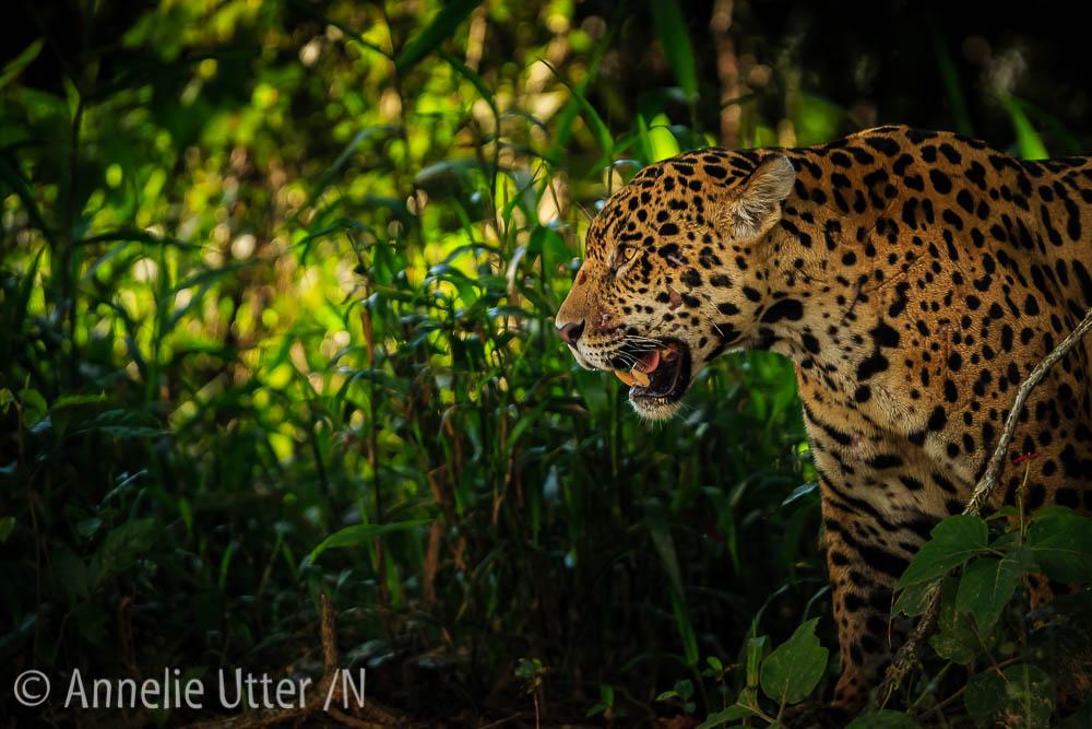 Jaguar – Det tredje största kattdjuret10